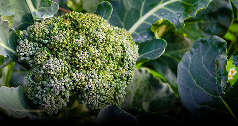Organic Broccoli - Coke Farm