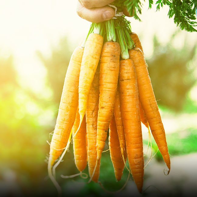 Organic Carrots- Coke Farm