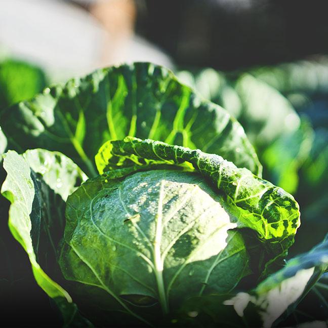 Organic Cabbage - Coke Farm